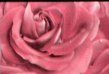 Роза гламурная